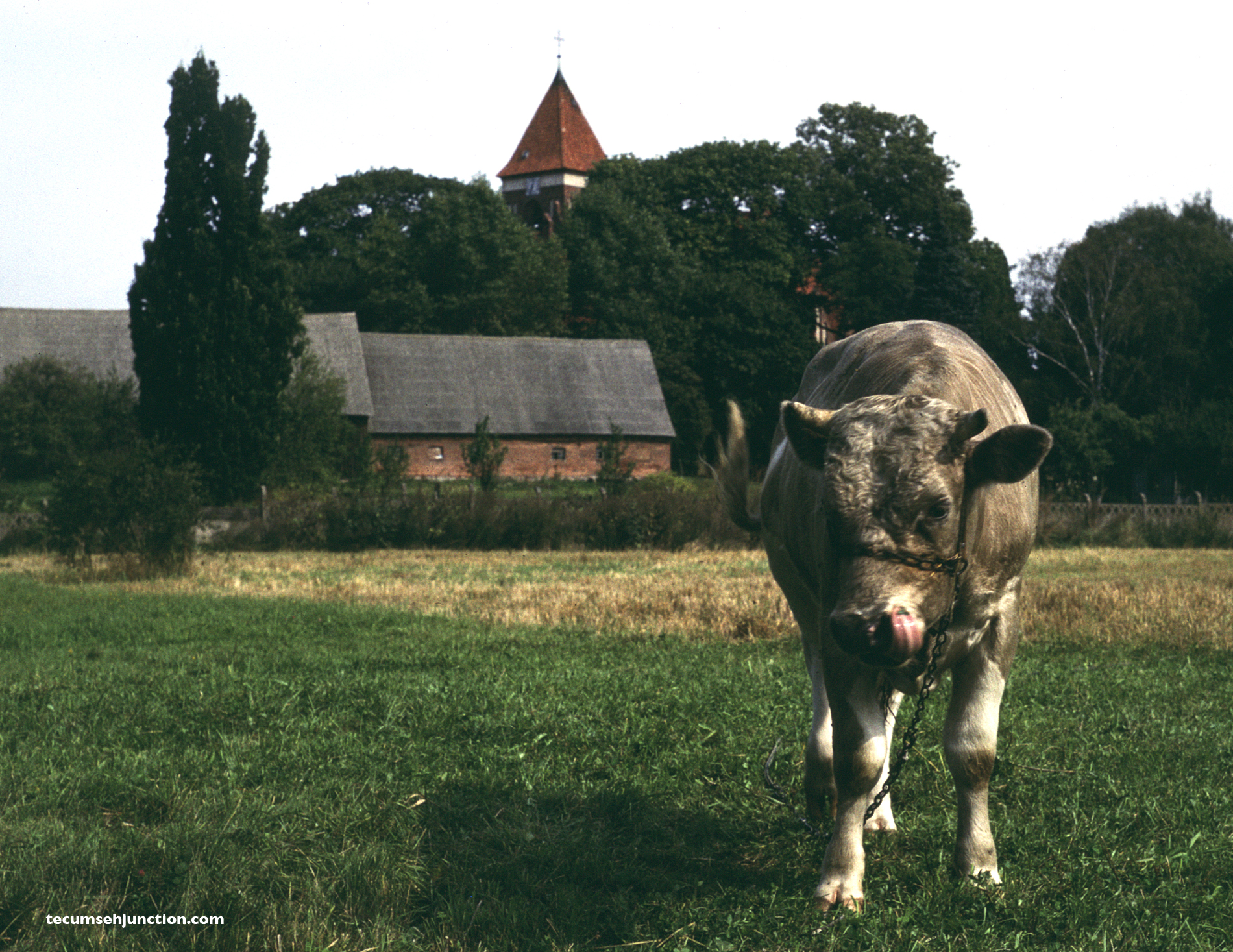 A bull grazes in a field on the outskirts of Czersk, Poland