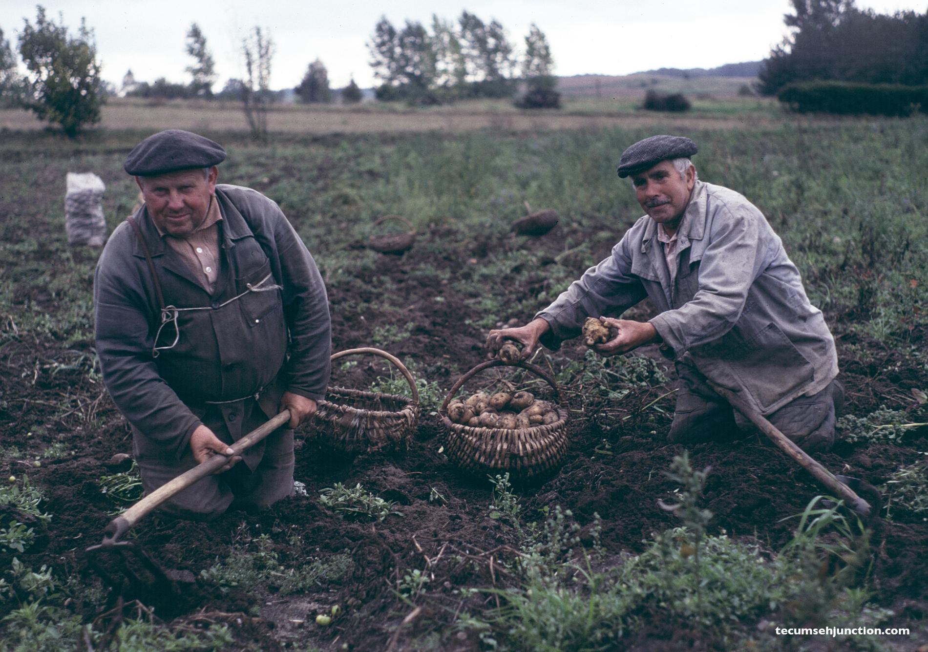 Potato farmers in Lipusz